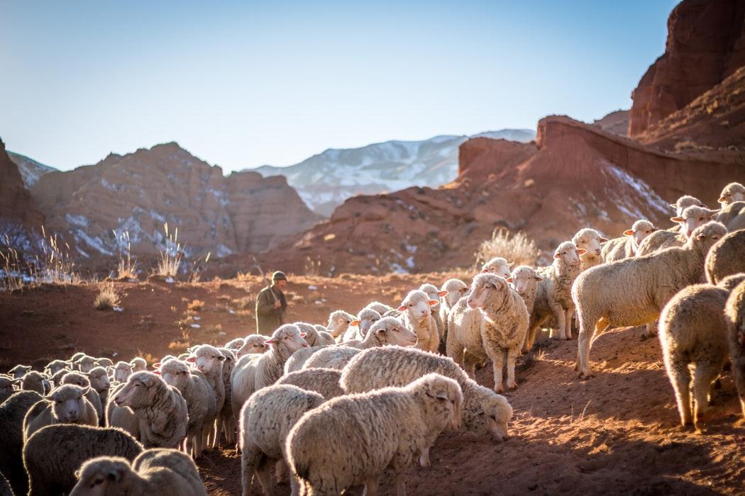 Prodajem 10 umatičenih Sjeničkih ovaca
