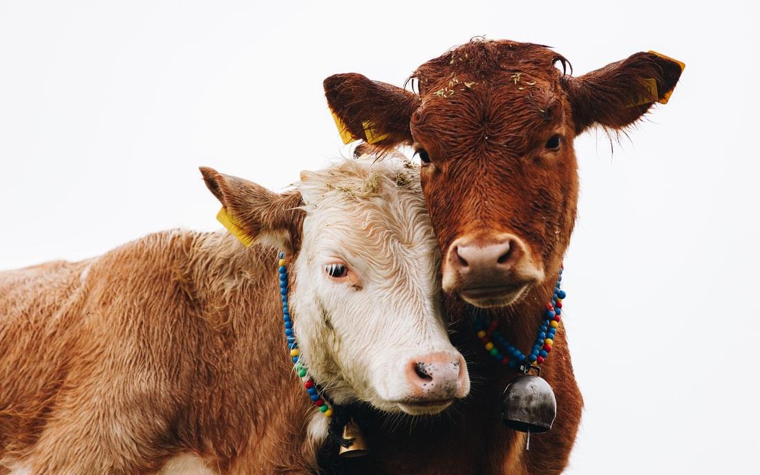 Priplodna krava i muško tele na prodaju