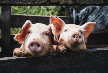 Prodajem svinje